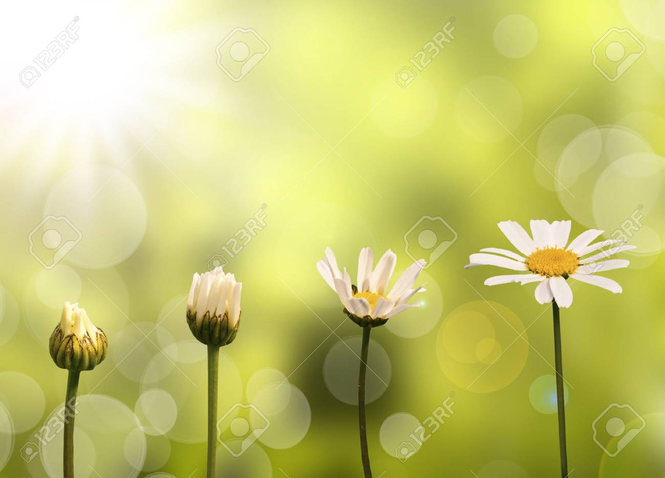 Daisies on green nature background, stages of growth - 34044407
