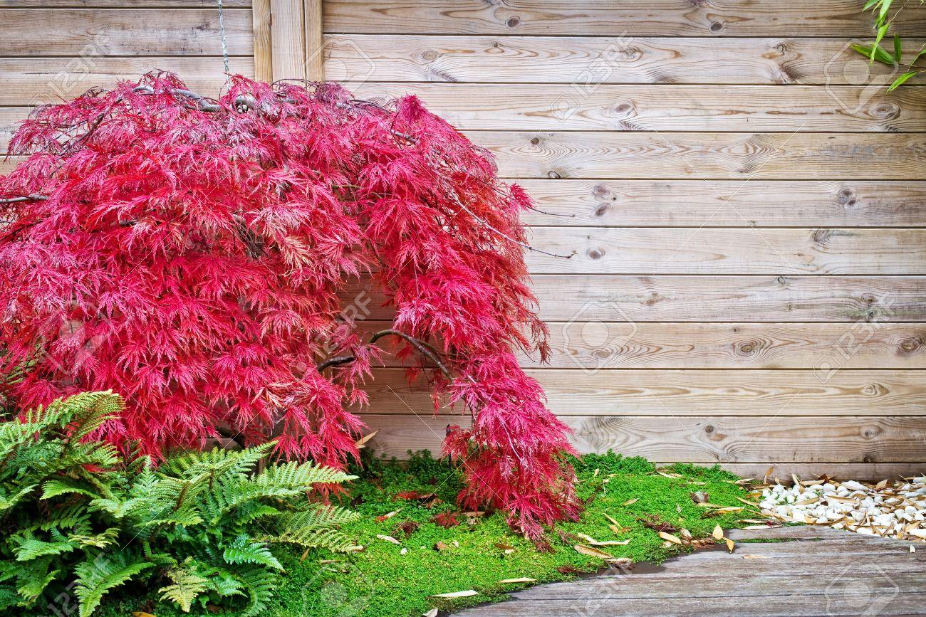Erable Du Japon Petit red érable japonais contre un mur en bois dans un petit jardin