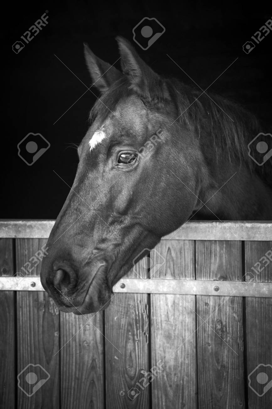 Horse Head Looking Out Of His Stable Black And White Stock Photo Picture And Royalty Free Image Image 70752265