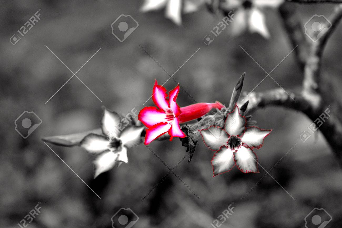Impala lilies black and white with colour stock photo 25310735