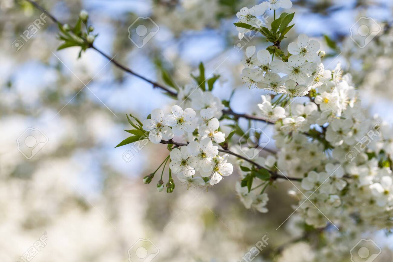 Branch Of A Blossoming Cherry Tree With Beautiful White Flowers