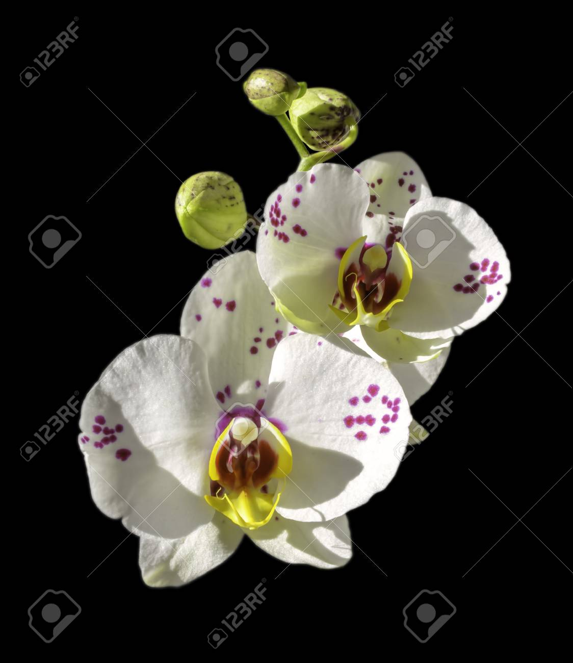 Orchids Flowers On Banch On Black Background Flowers Of