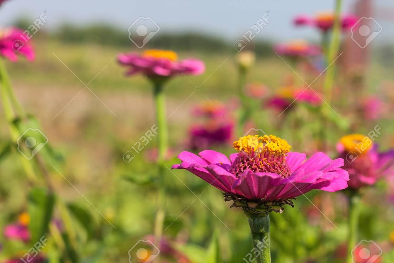 Beautiful flowers of purple zinnia in nature on a green background beautiful flowers of purple zinnia in nature on a green background stock photo 84114383 izmirmasajfo