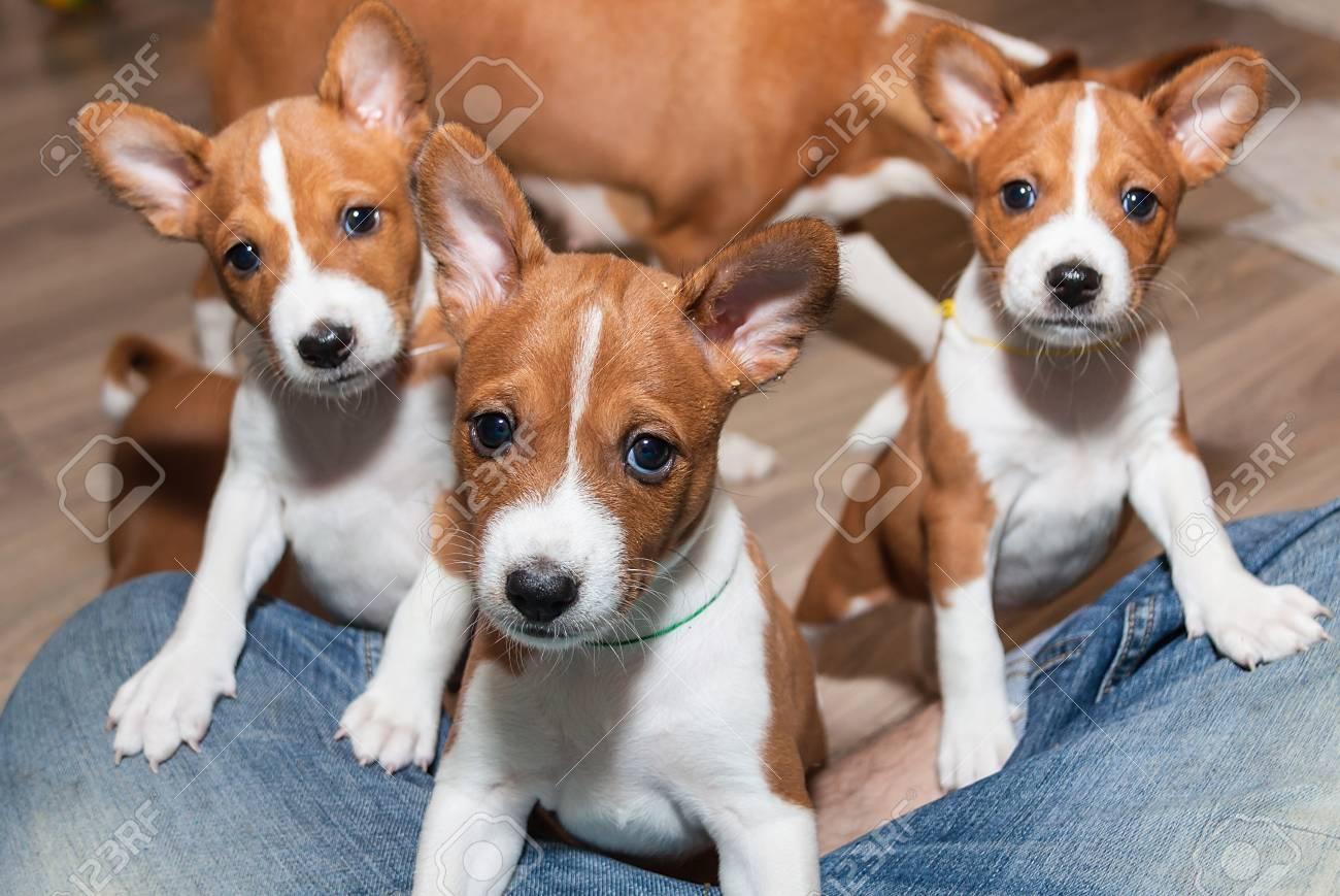 Beautiful Cute Puppy Dogs Not Barking African Dog Breed Basenji Stock Photo