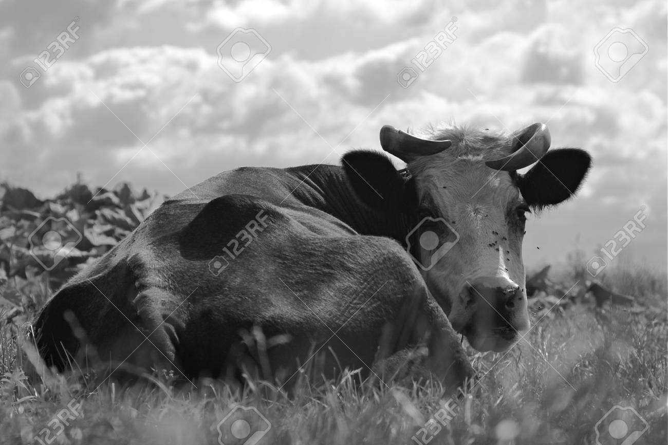 A black and white photograph of a lying cow in the pasture and