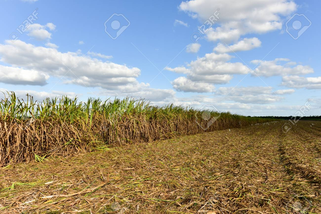 Sugar Cane Fields In A Plantation Guayabales Cuba Stock Photo