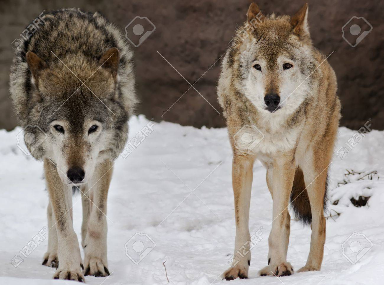 Two wild wolfs on the snow landscape Stock Photo - 11931667