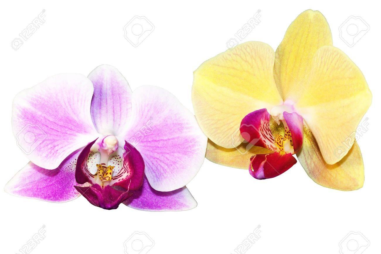 Purple and yellow orchid flowers stock photo picture and royalty purple and yellow orchid flowers stock photo 12710923 mightylinksfo