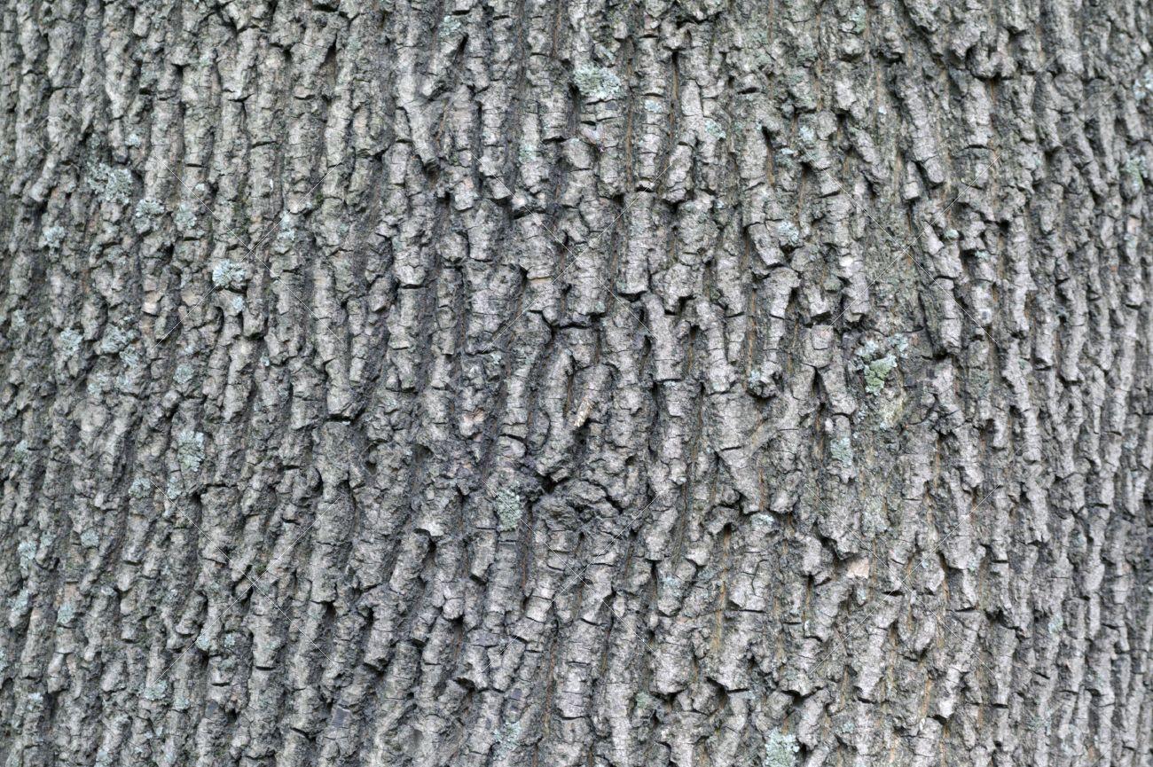 Tree Identification Quiz Archive Adirondack Forum - Norway maple bark