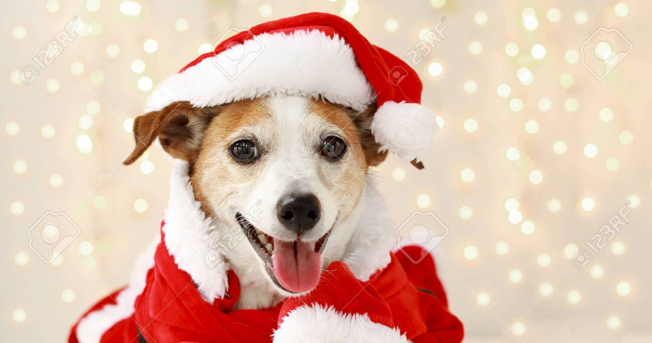 Christmas Dog Jack Russell Terrier Smiling In Santa Costume On Stock Photo Picture And Royalty Free Image Image 154127615