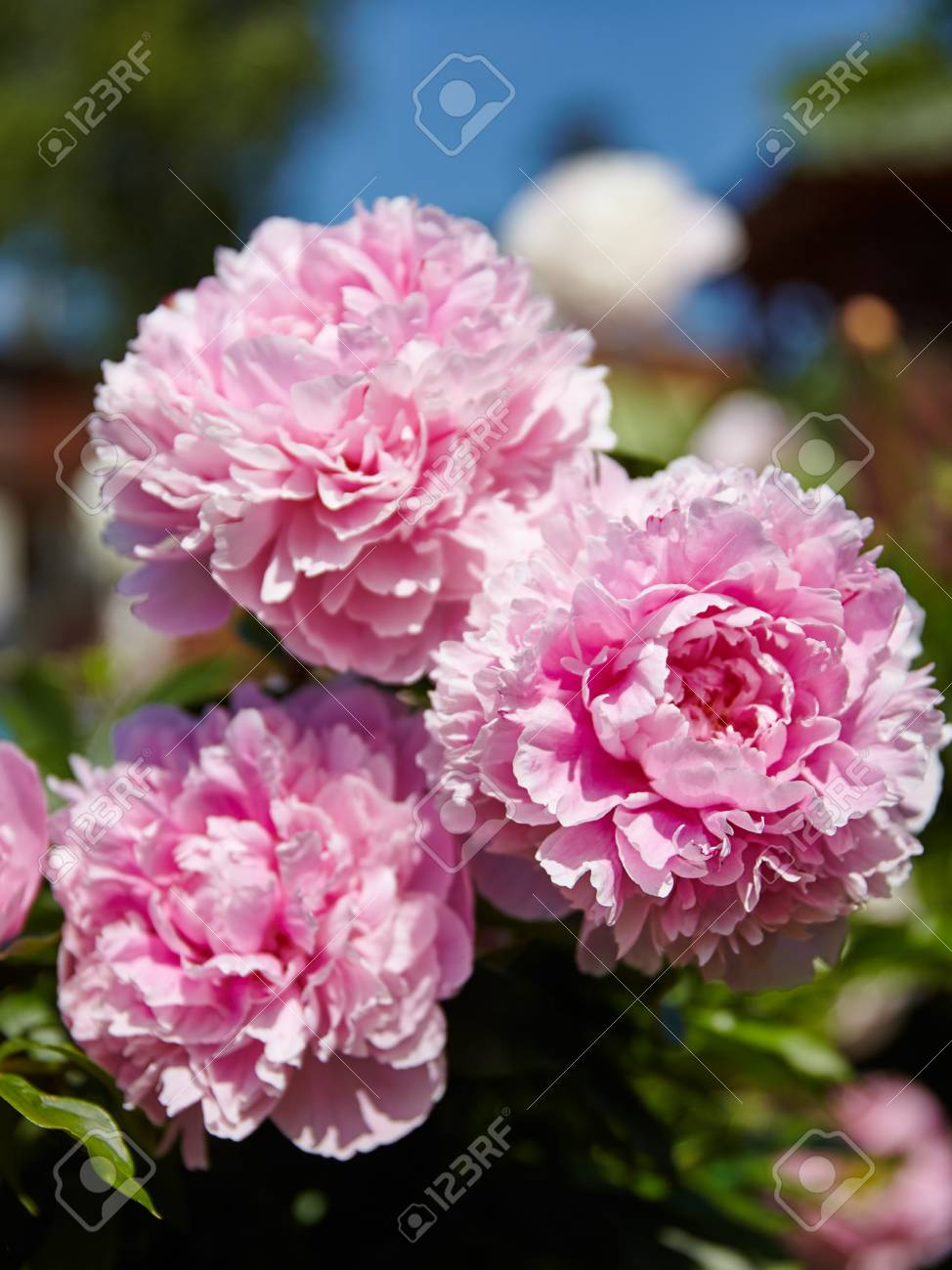 Bright Large Flowers And Buds Of Peonies In A Soft Pink Color Stock