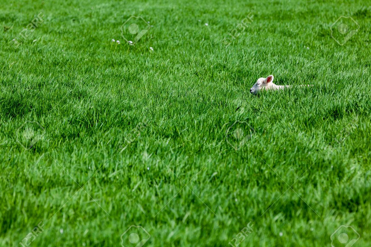 An lamb sleeping in the high grass in the field - 27457484