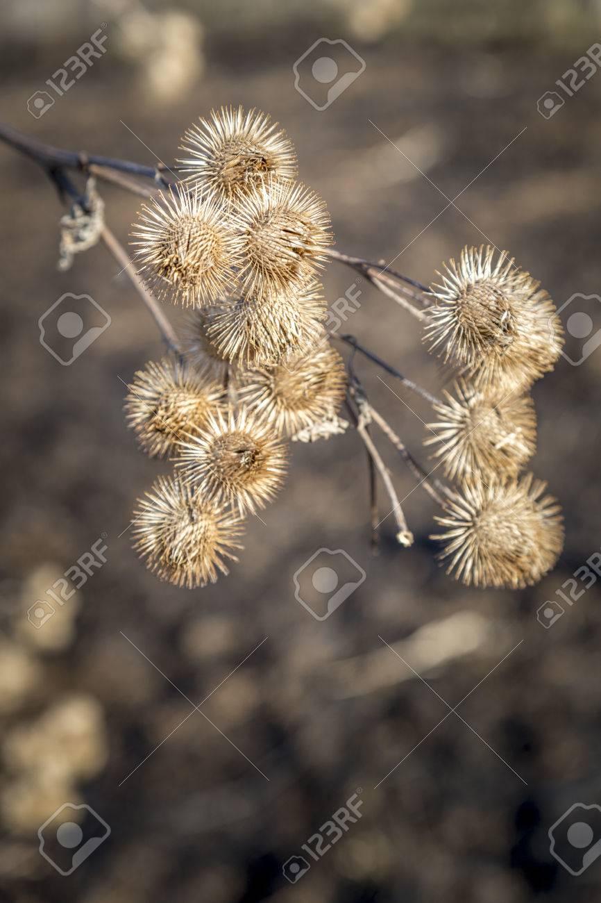 Dried burrs on a prairie plant