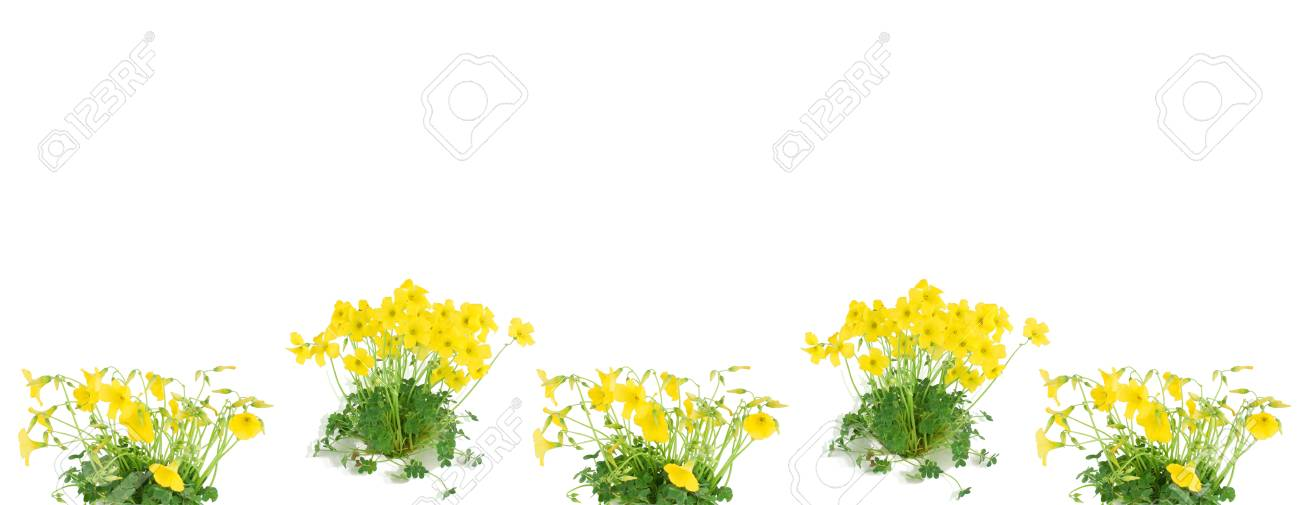 Shamrock oxalis flower and leaves isolated on white  with copy space. Stock Photo - 9440992