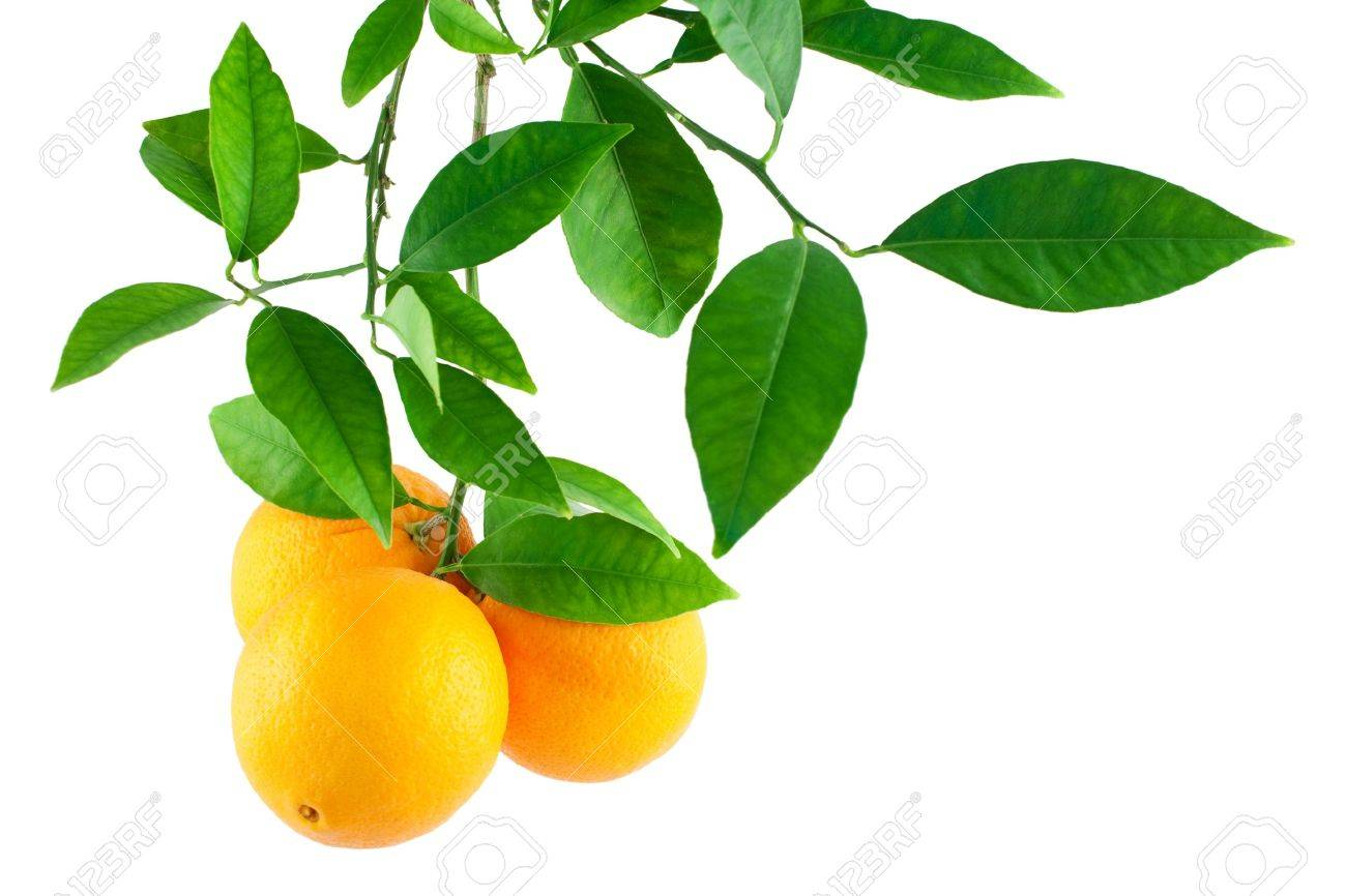 Oranges On A Branch With Leaves Isolated On A White Background Stock Photo Picture And Royalty Free Image Image 11618245
