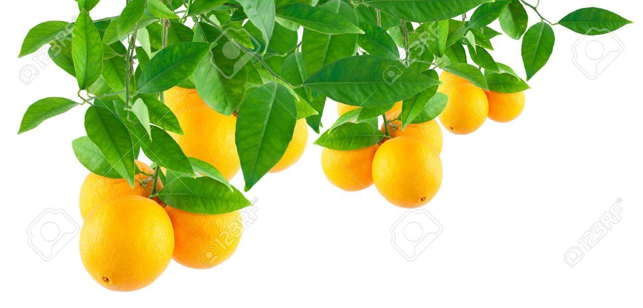 Oranges on a branch  Isolated on a white  making a border Stock Photo - 11618256