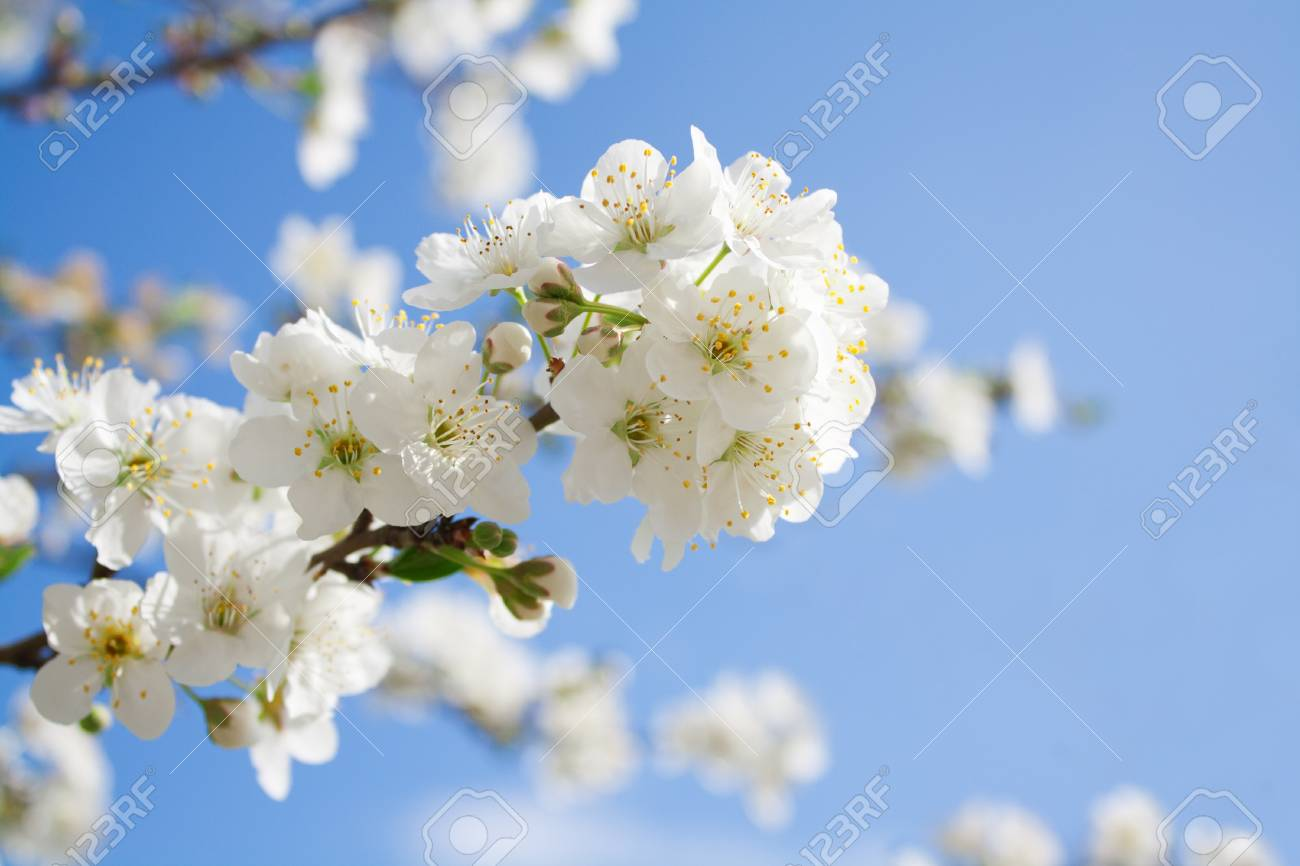 Bunches of plum  blossom with white flowers against the blue sky Stock Photo - 12873187