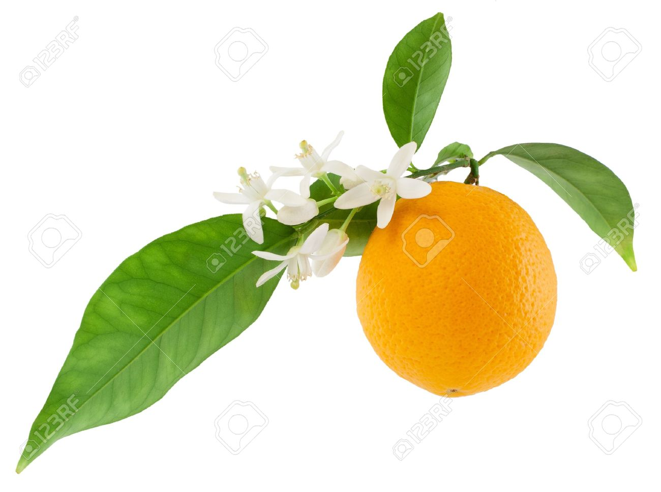 Orange On A Branch With Leaves And A Flowers Isolated On A White Stock Photo Picture And Royalty Free Image Image 13145545