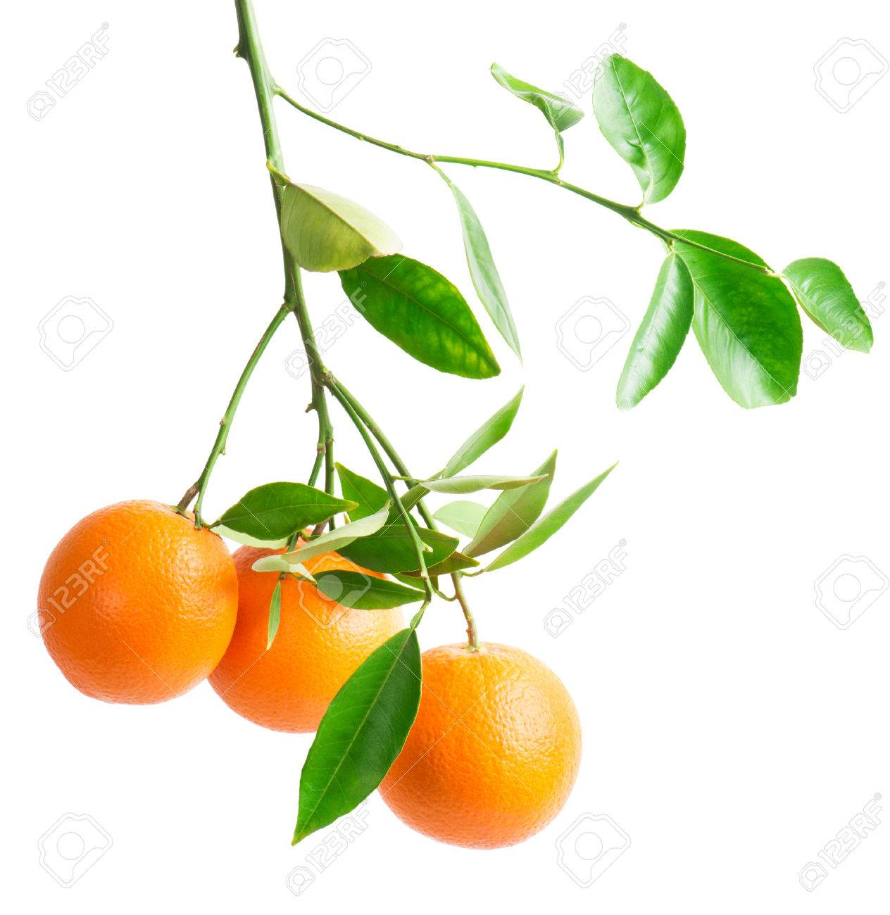 Branch With Fresh Ripe Orange Fruits Isolated On White Background Stock Photo Picture And Royalty Free Image Image 25676483