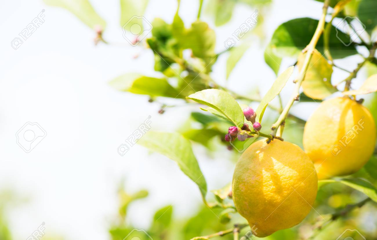 Lemon Tree Buds Pictures