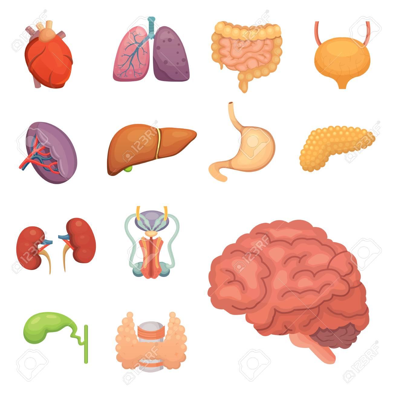 Cartoon Human Organs Set. Anatomy Of Body. Reproductive System ...