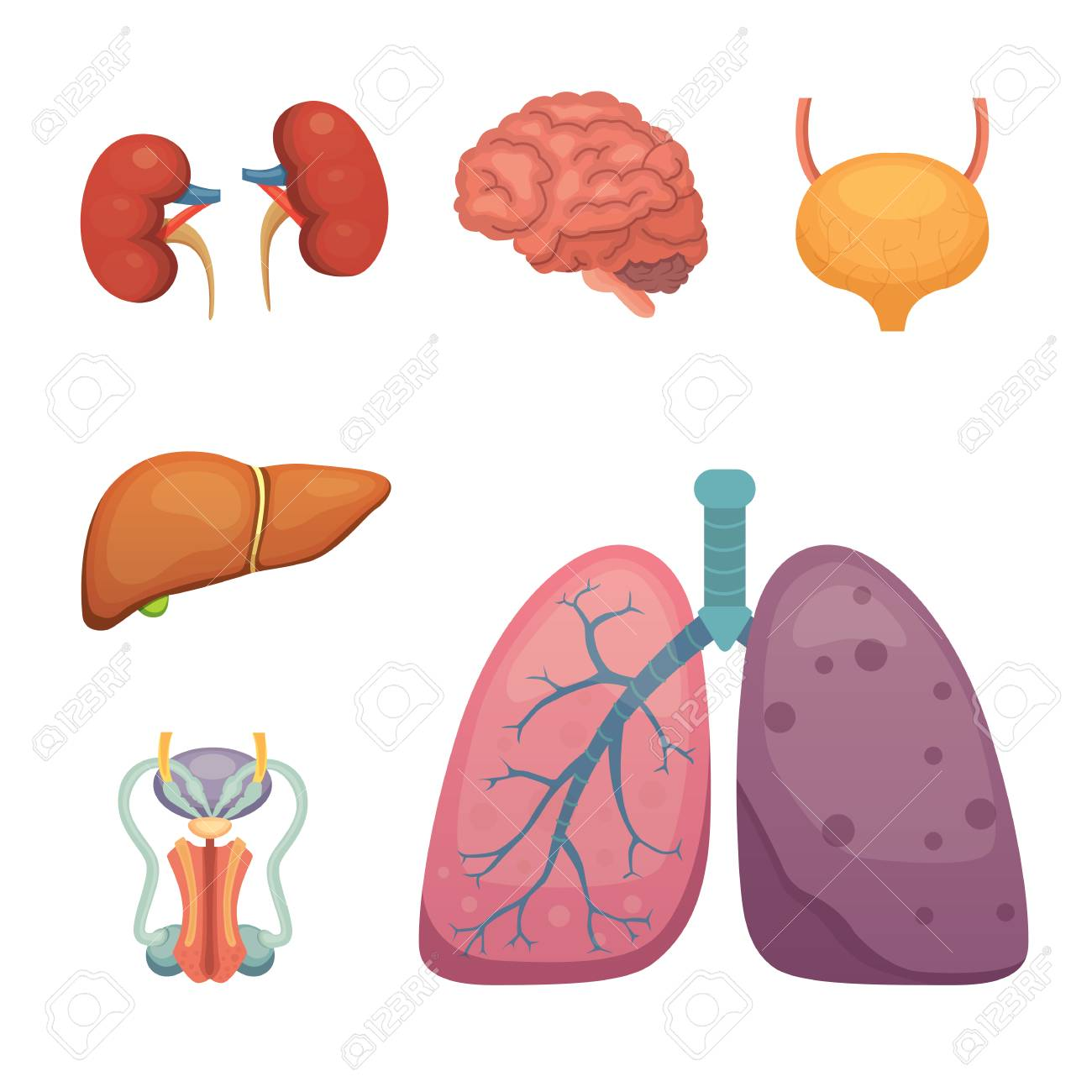 Cartoon Human Organs Set. Anatomy Of Body. Royalty Free Cliparts ...