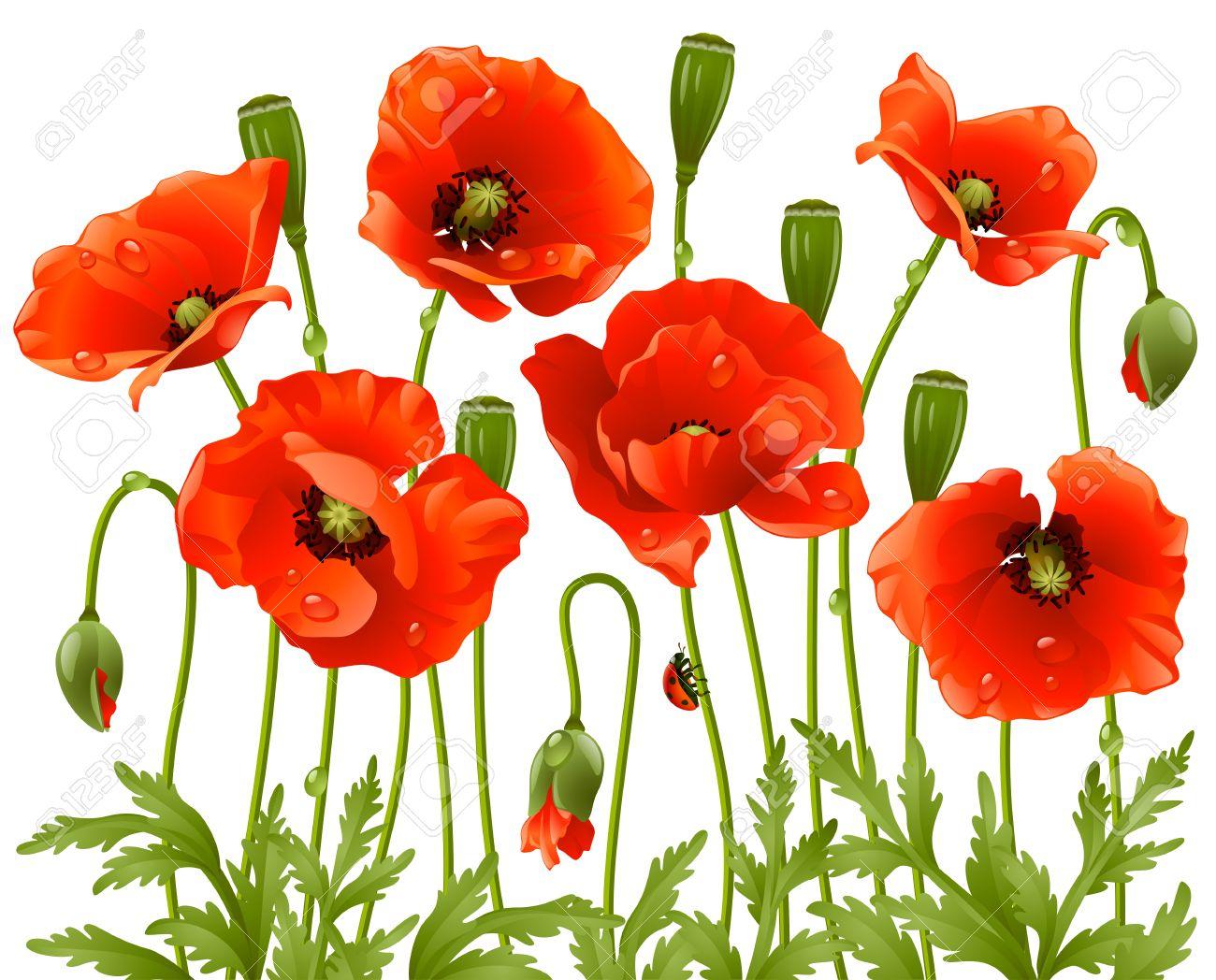 Spring flowers: poppy Stock Vector - 8202464