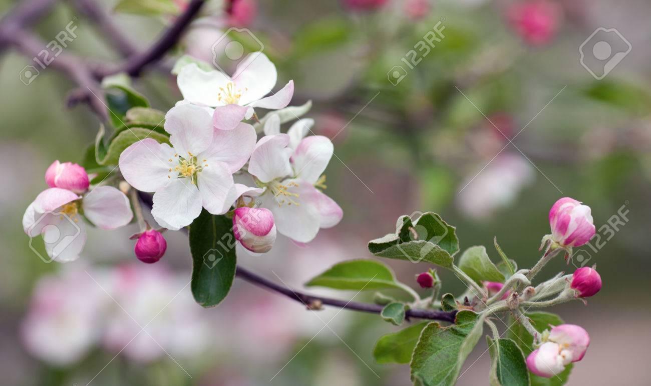 Plum Blossoms Closeupums Tree Macro Photo Of Spring Flowers