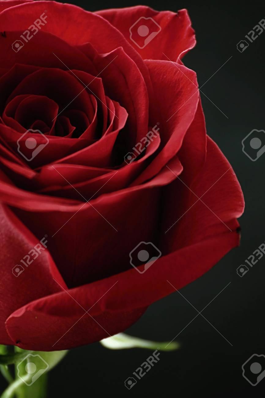 Free Download Rosa Rossa Con Sfondo Nero Sfondo