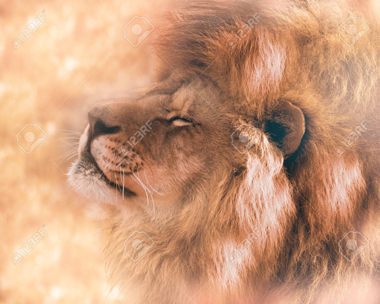 Beautiful lion in dream  Big dominant animal from Africa
