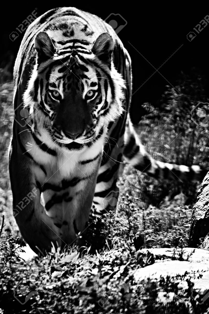 a tiger on the road behind prey in black and white. stock photo