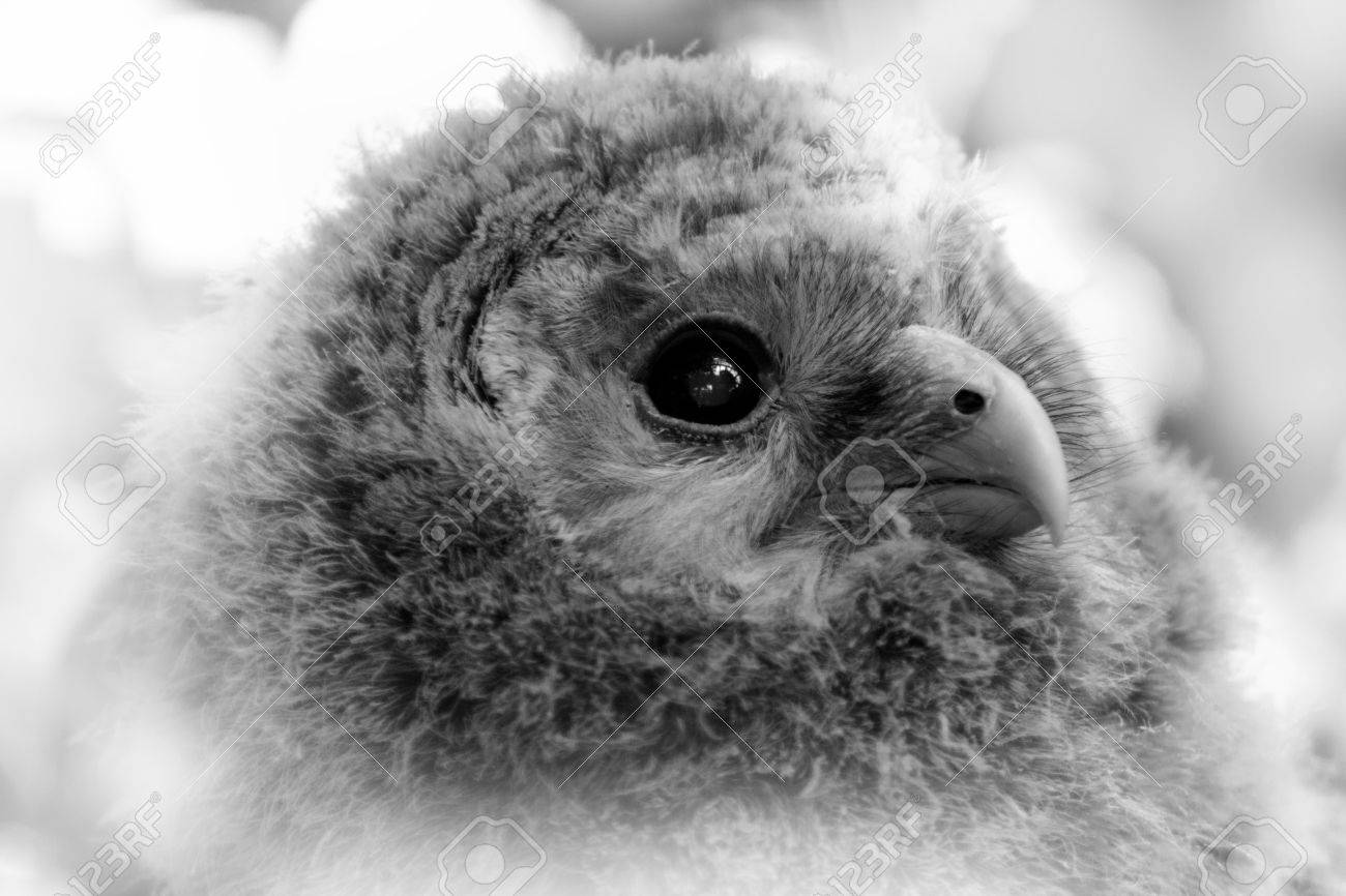 Black And White Portrait Baby Owl Face Child Owl Stock Photo