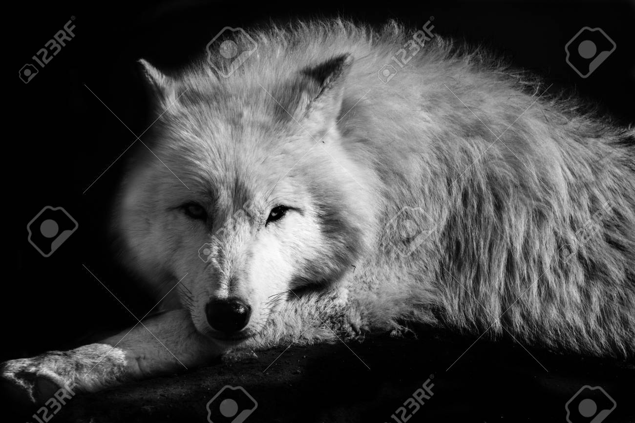 Black white wolf northern lying on the earth