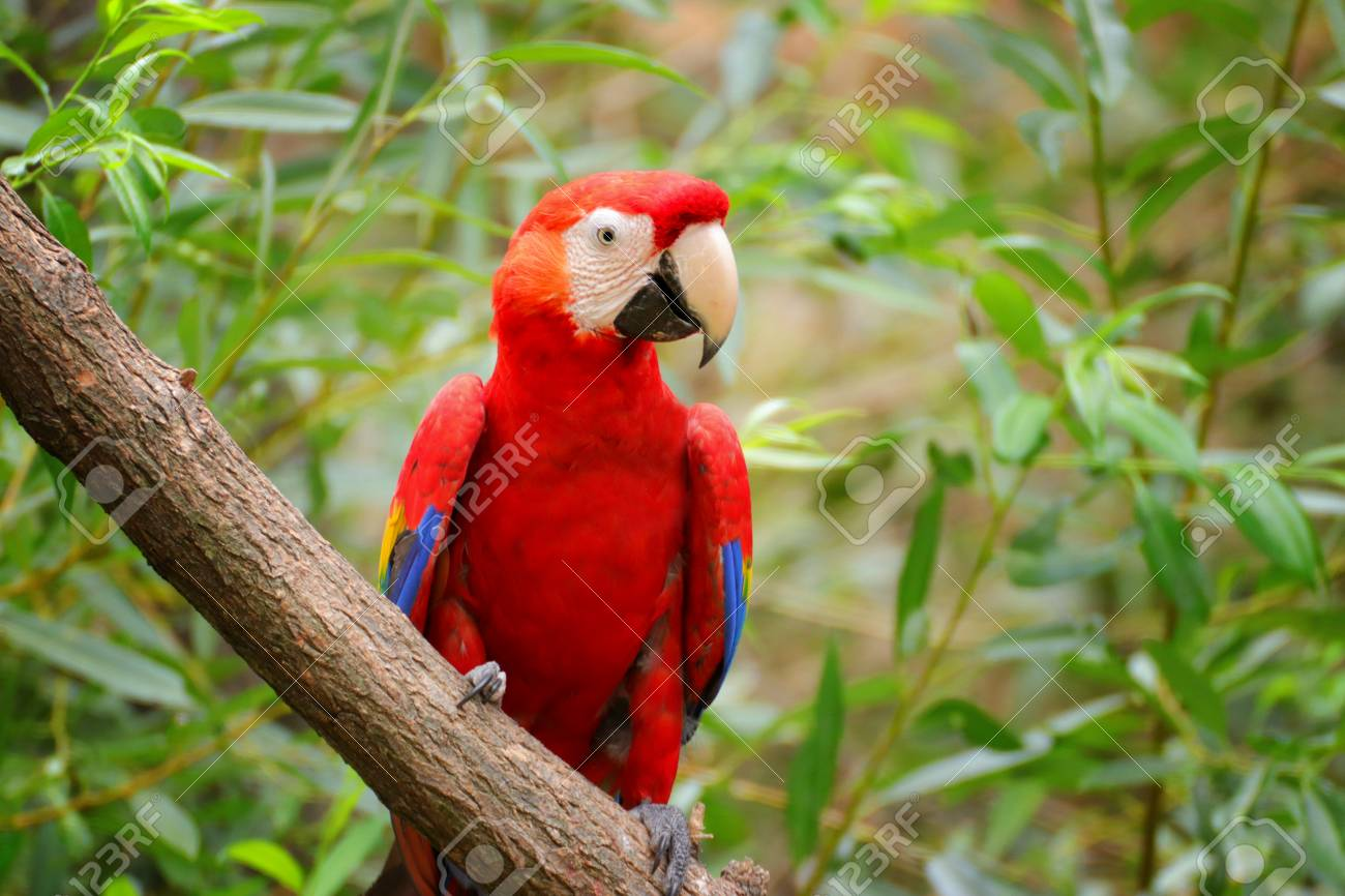 red-and-green macaw Ara chloroptera  Face of The scarlet macaw