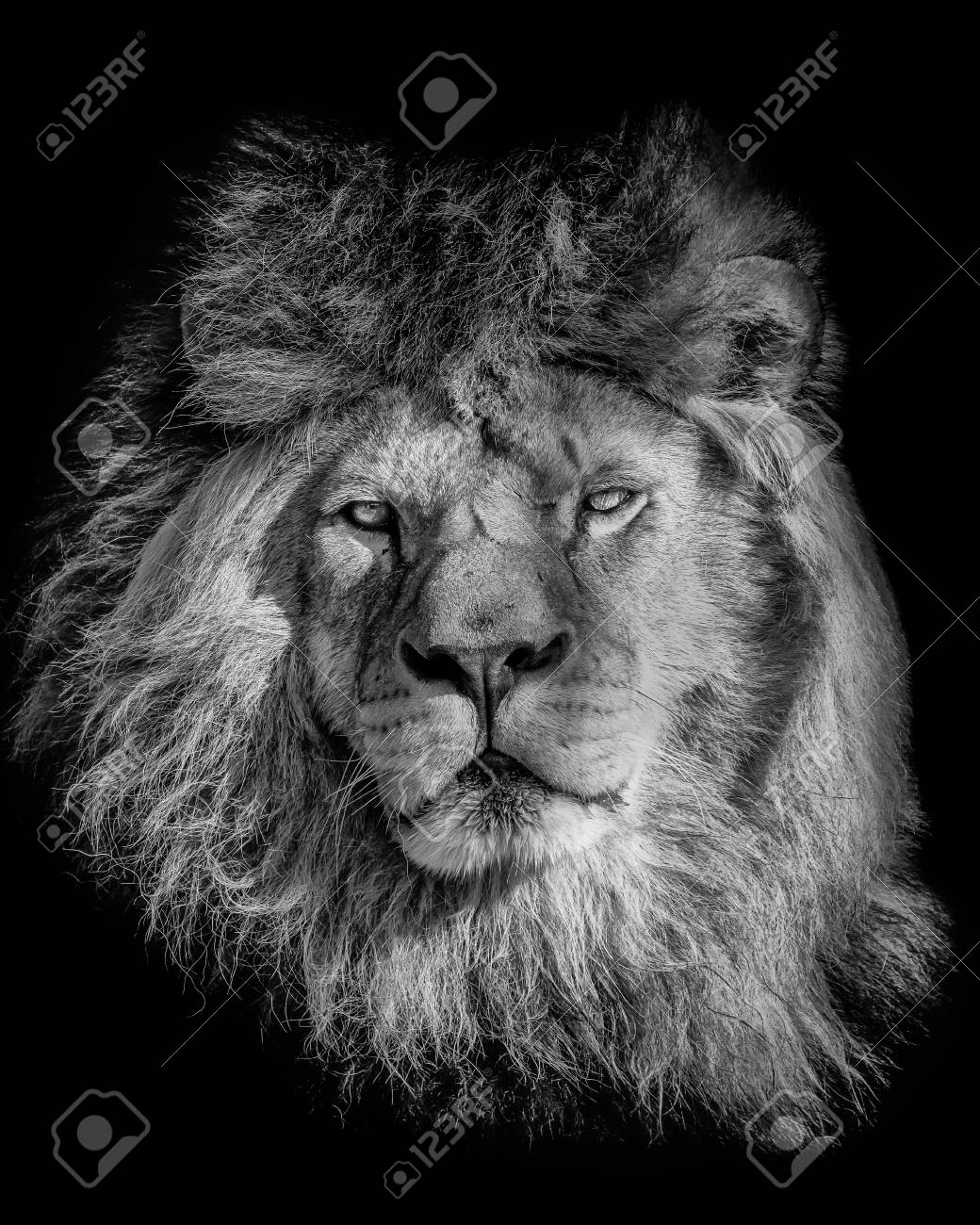 Black and white poster lion portrait from animal s world symbol for dominant