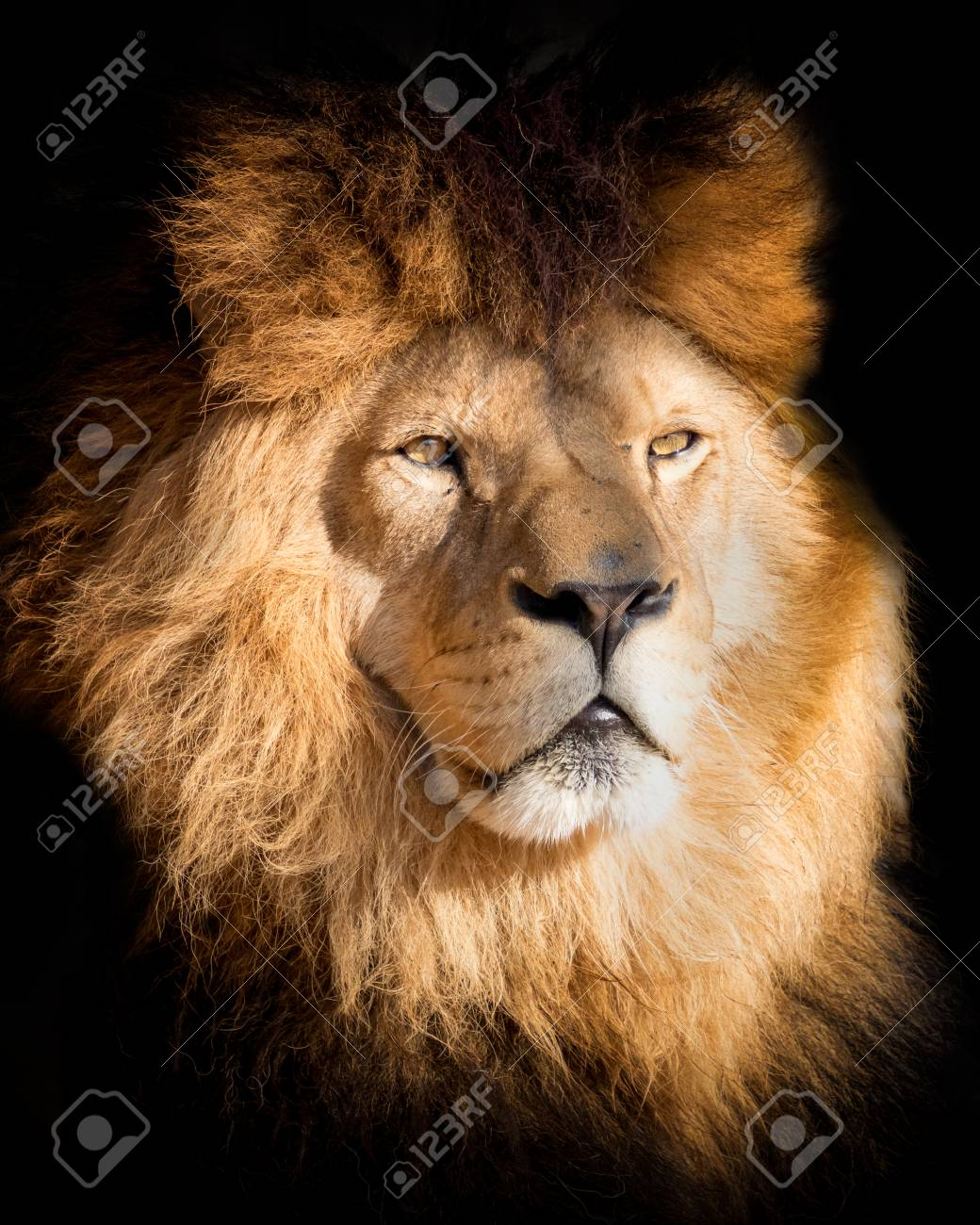Detail portrait lion in black. Poster lion in high quality. Popular a endangered animal. - 123634112