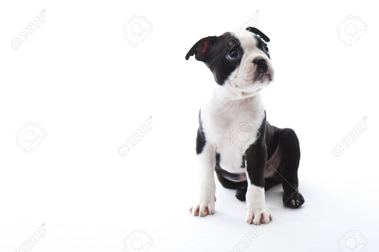 isolated boston terrier images u0026 stock pictures royalty free