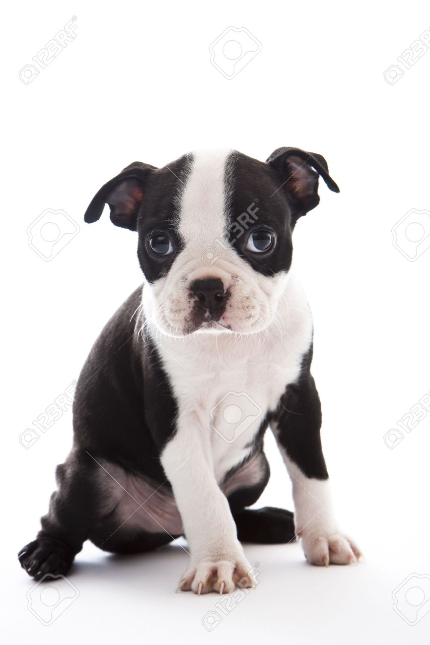 boston terrier images u0026 stock pictures royalty free boston