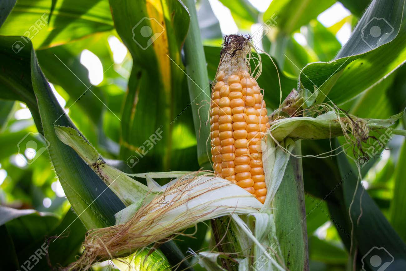 yellow corn cob in the corn field - 155154914