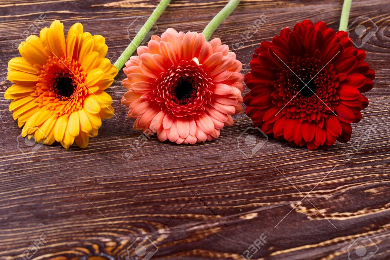 Gerberas on wooden background colorful bloom on wooden surface gerberas on wooden background colorful bloom on wooden surface symbolic meaning of flowers izmirmasajfo