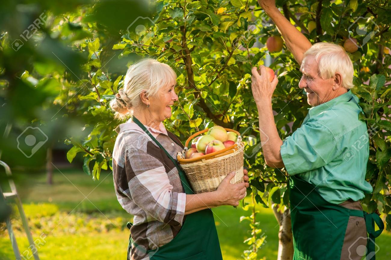 Old Couple Is Picking Apples. Woman Smiling And Holding Basket ...