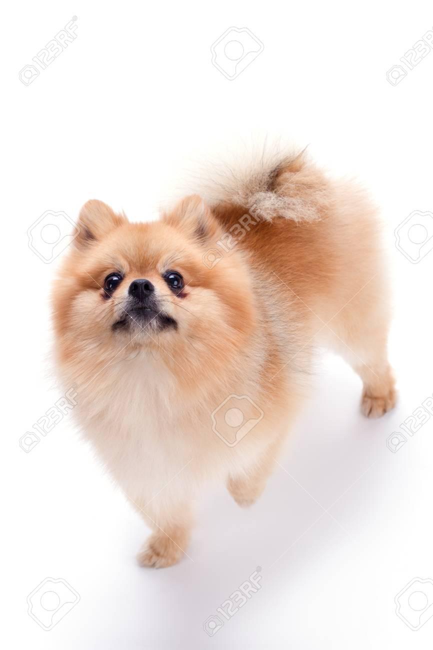 Lovely Pomeranian Spitz Puppy Fluffy Orange Pomeranian Dog Isolated