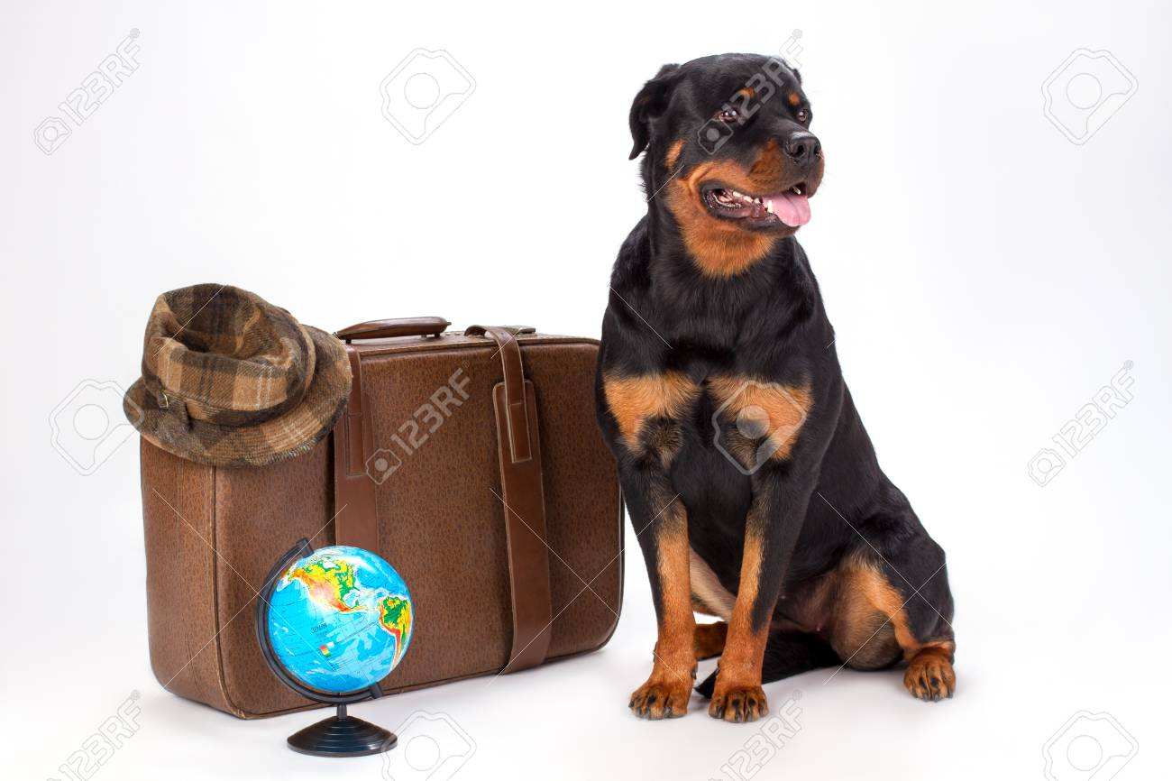 Portrait Of Rottweiler Dog And Travelling Accessories Young Stock