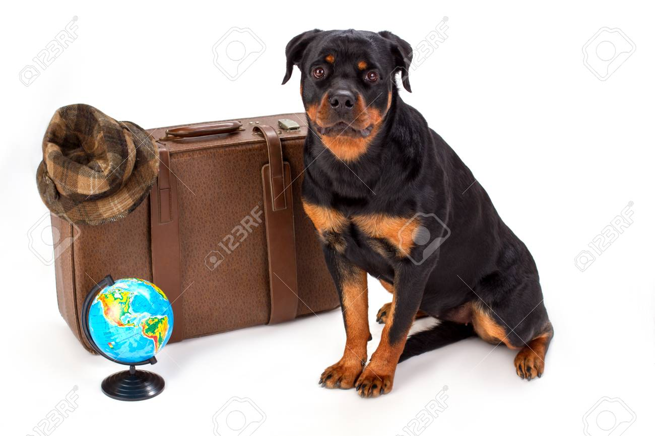 Hat On Suitcase Globe And Rottweiler Dog Young Pedigree Rottweiler
