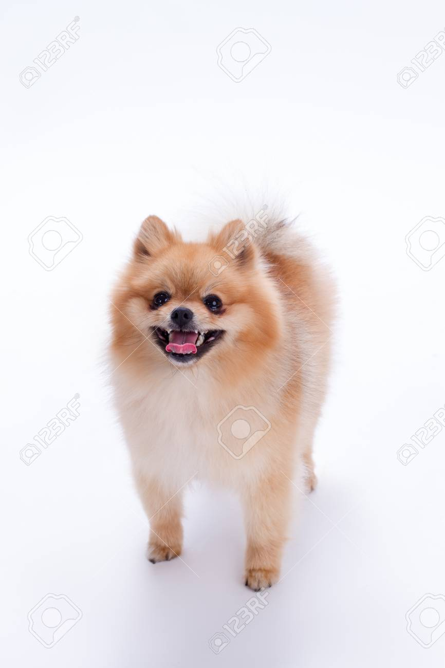 Happy Pomeranian Spitz On White Background Adorable Puppy Spitz Stock Photo Picture And Royalty Free Image Image 96237491