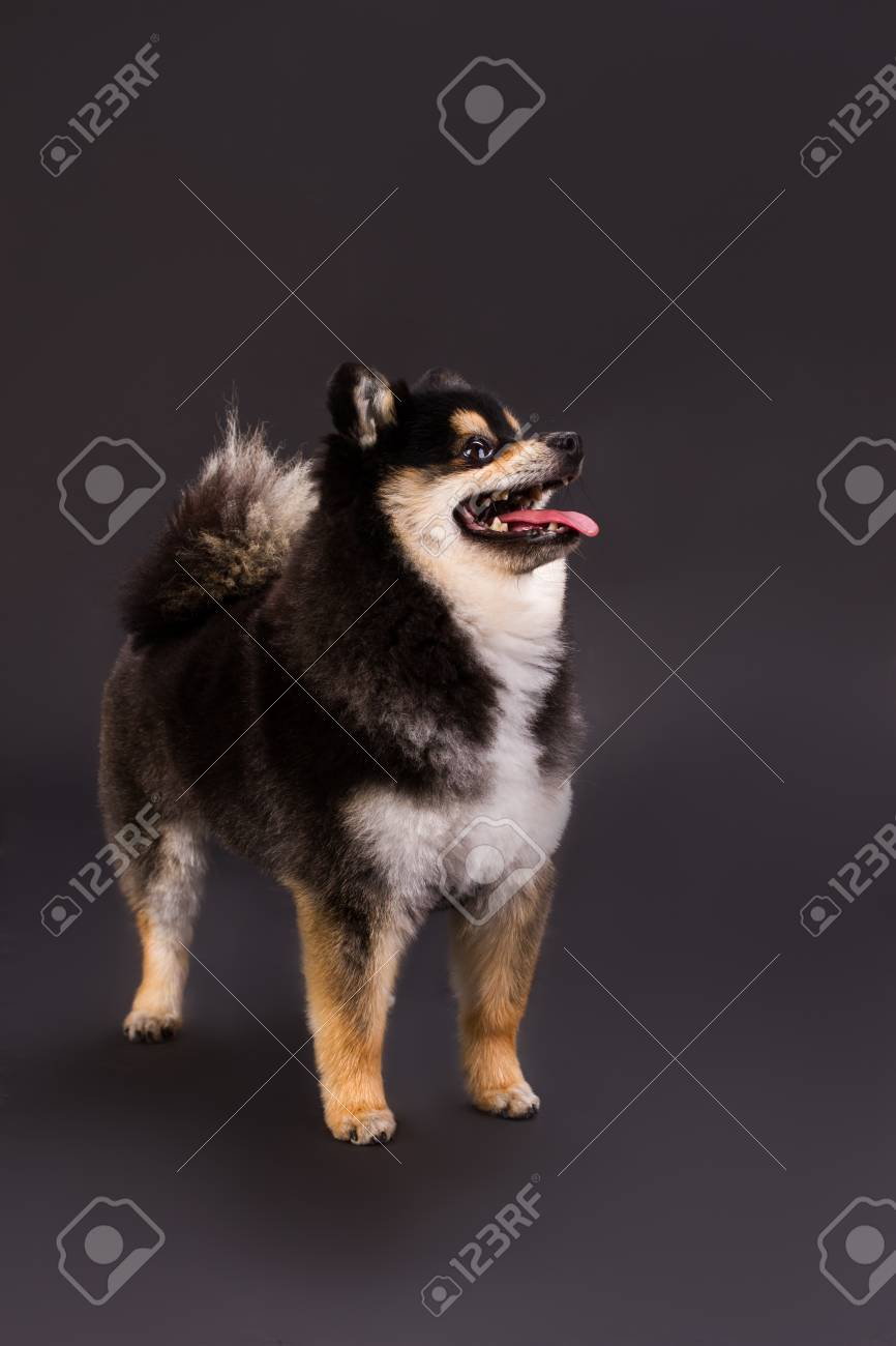 Popular Cute Black Adorable Dog - 96237508-adorable-young-spitz-studio-portrait-cute-black-and-white-pomeranian-spitz-standing-on-dark-backgrou  Photograph_94650  .jpg