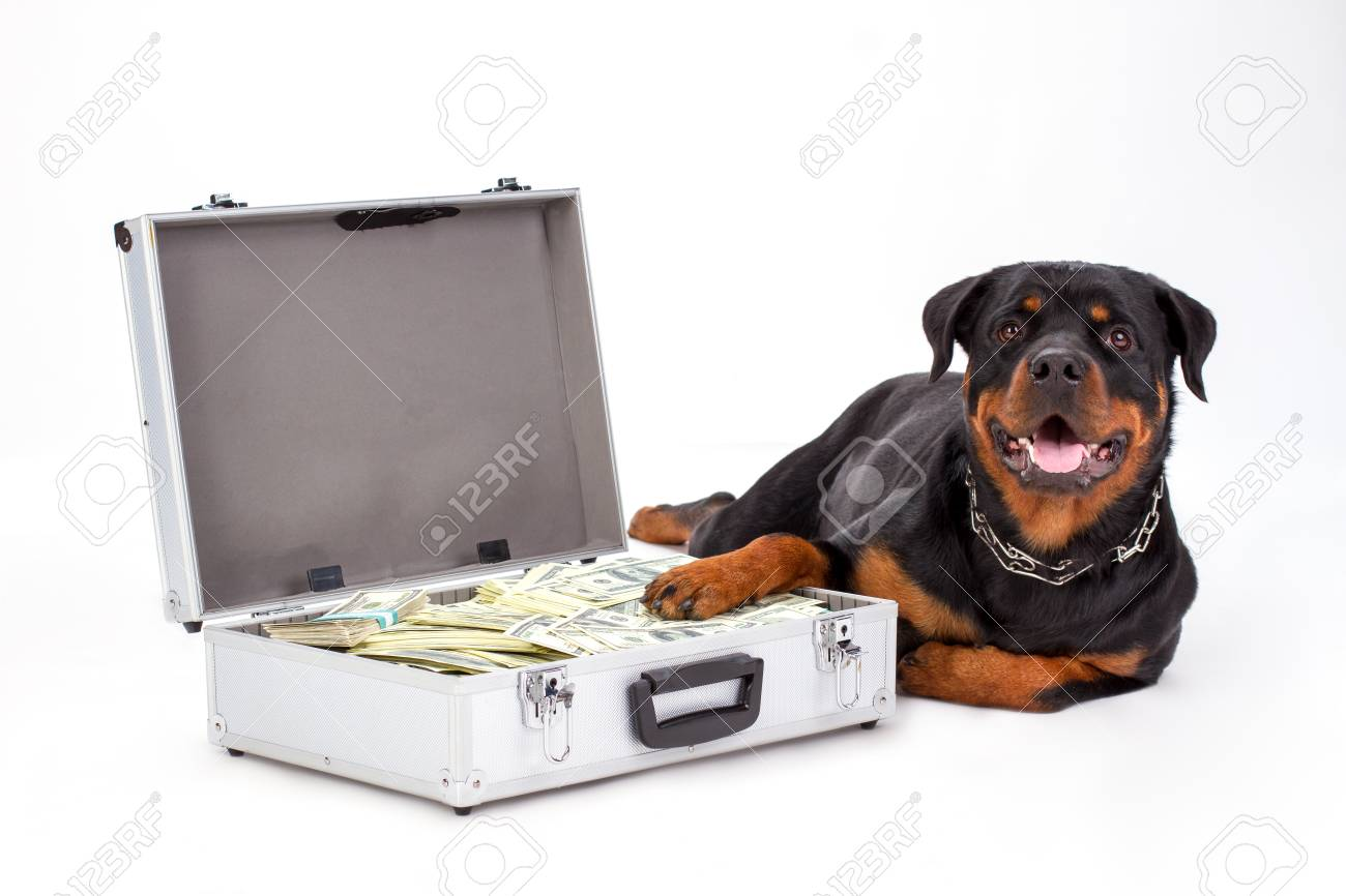 Rottweiler Protecting Suitcase Full Of Dollars Cute Purebred