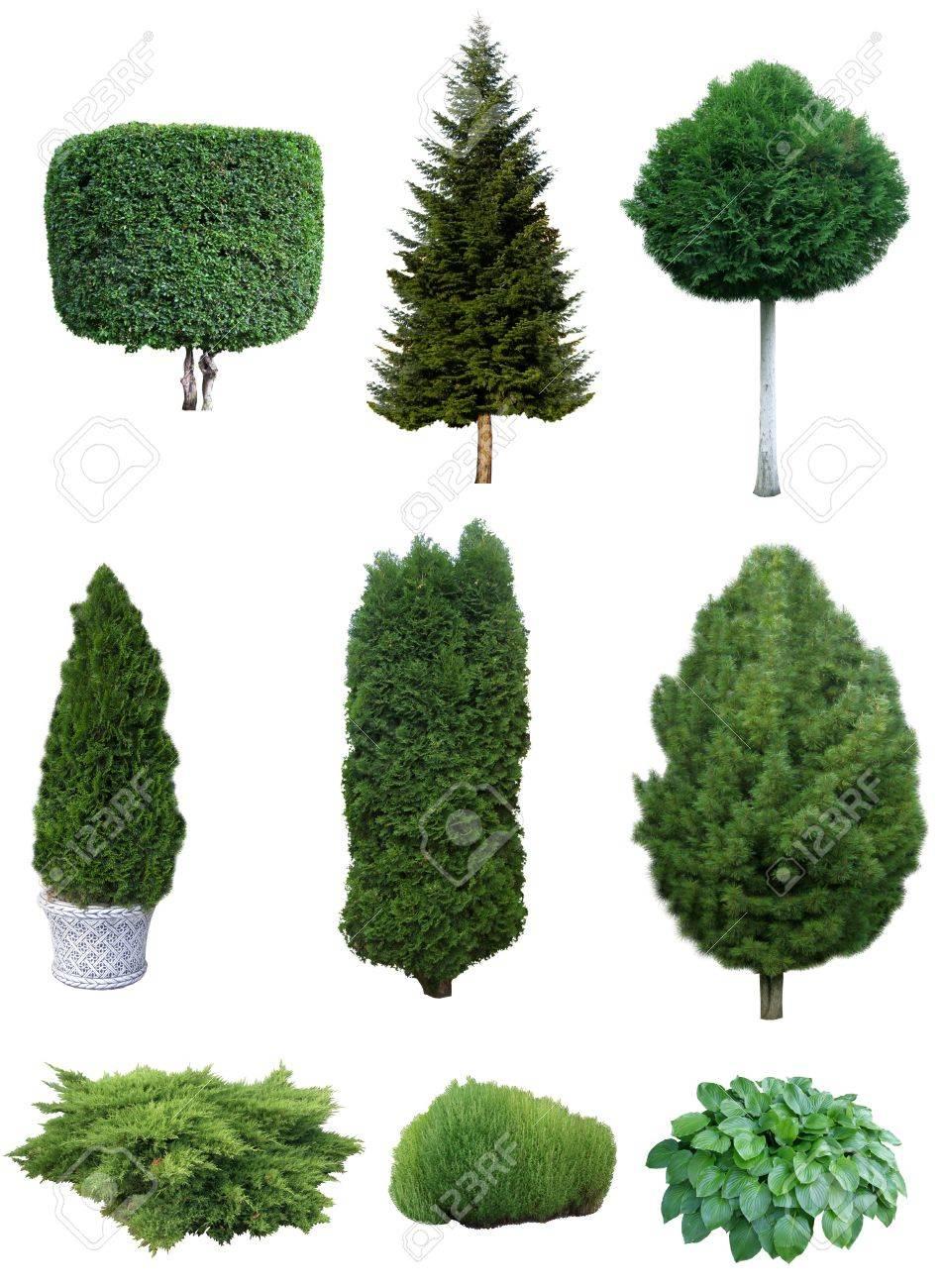 Satz Von Verschiedenen Immergrünen Bäume Und Sträucher Für Den