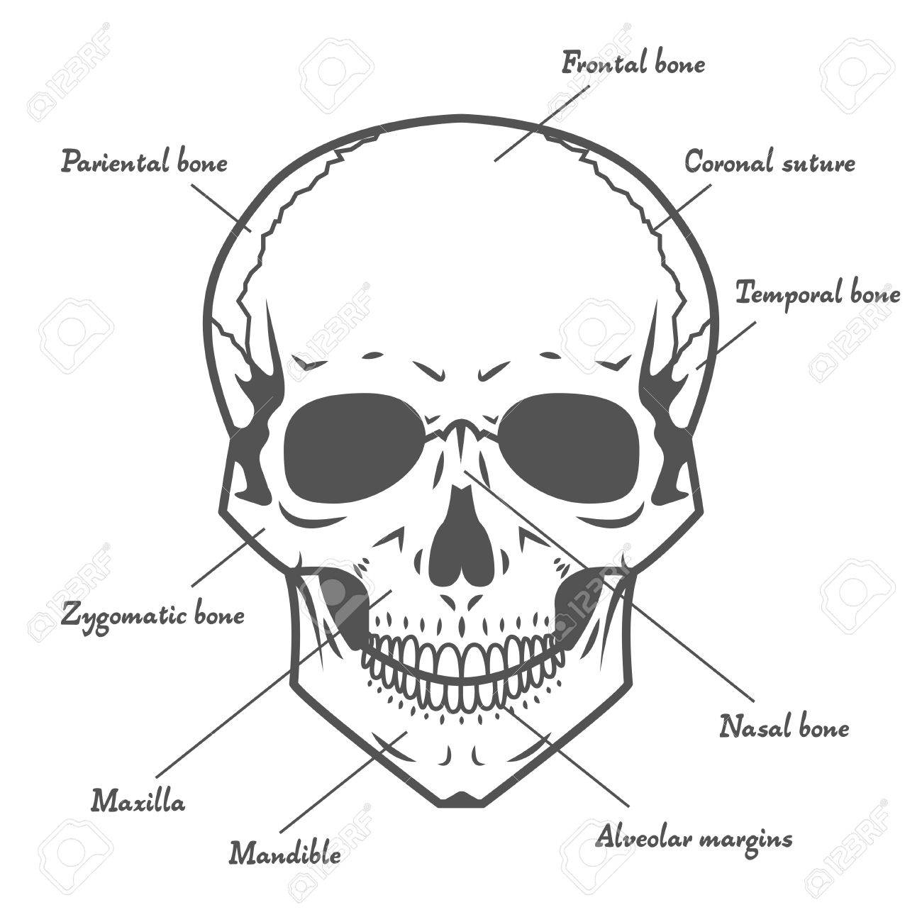 Black Vector Skull Anatomy At White Background Royalty Free Cliparts ...
