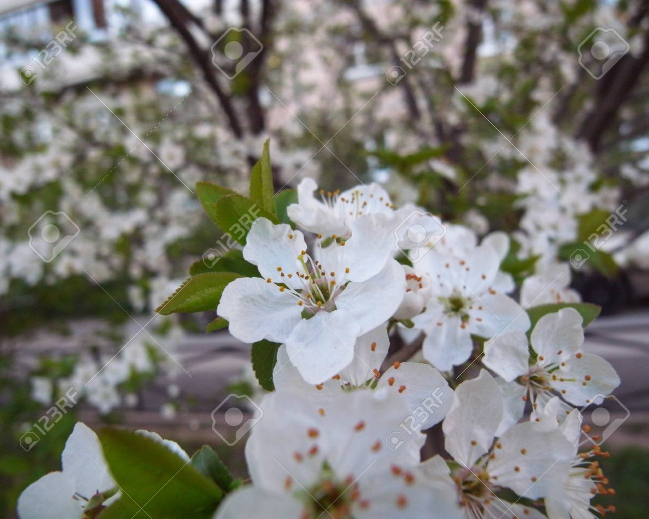 The Spring Flowering Of Cherry The Small White Flowers One